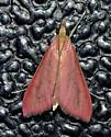 Pyrausta inornatalis – Inornate Pyrausta Moth - Pyrausta inornatalis
