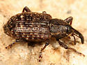 weevil - Notaris puncticollis