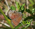 Frosted Elfin ovipositing - Callophrys irus - female
