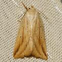 Oblique Grass Moth - Hodges #9819 - Amolita obliqua - female
