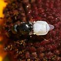 Small fly with white abdomen - Nemotelus kansensis - male