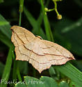 Moth 2 - Timandra amaturaria