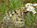 Rocky Mountain Parnassian - Parnassius smintheus - female
