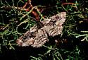 Mottled Moth - Phaeoura perfidaria