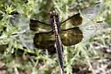 Widow Skimmer (teneral) - Libellula luctuosa - male
