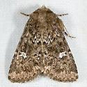 Properigea albimacula