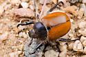 Scarab Beetle - Paracotalpa ursina
