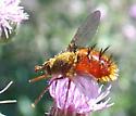 Weevilly fly like thing - Adejeania vexatrix