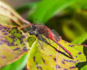 White-faced Meadowhawk - Sympetrum - male
