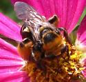 long-horned bee,Fe - Svastra obliqua - female