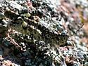 Oedipodinae - Leuronotina ritensis - male