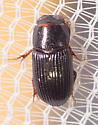 Tiny Black Beetle - Ataenius