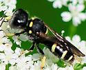 Square-headed Wasp Ectemnius continuus - Ectemnius continuus