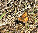 butterfly - Chlosyne harrisii