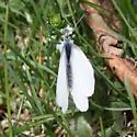 arctic white? - Pieris oleracea - male