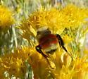 bumble bee - Bombus huntii