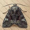 Noctuidae: Fishia illocata - Fishia illocata - male