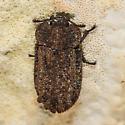 fungus beetle ? - Calitys scabra