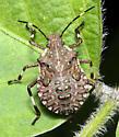 Halyomorpha halys nymph - Halyomorpha halys
