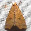 Yellow Scallop Moth - Hodges #8545 - Anomis erosa
