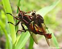 Proctacanthus rufus - male - female