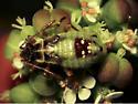 Bug on Euphorbia flowers