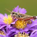 Red/pink Legged Grasshopper - Melanoplus femurrubrum