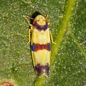leafhopper - Erythroneura calycula