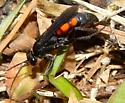 Anoplius americanus trifasciatus? - Anoplius americanus