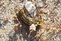 Sphinx Moth Caterpillar - Hyles lineata