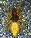 D. calcarata male  - Dictyna calcarata - male