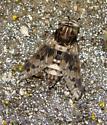 horsefly - Tabanus venustus - male