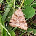 brown moth in grass - Caenurgina