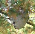 Nest.... - Dolichovespula maculata
