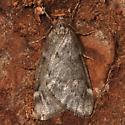 Fall Cankerworm Moth - Alsophila pometaria