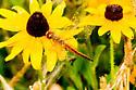 Spot wing glider - Pantala flavescens