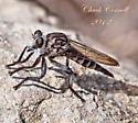 Some type of fly possibly. - Promachus