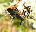 Assassin bug - Apiomerus crassipes