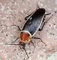 Pseudomops septentrionalis