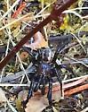 Spider found in Ruch, Oregon. - Antrodiaetus