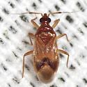 Minute Pirate Bug ? - Lasiochilus