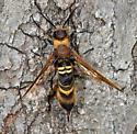 Ichneumonid? - Eriotremex formosanus - female