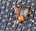 Ground Beetle - Agonum decorum