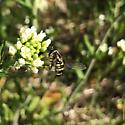Unknown Fly  - Eupeodes