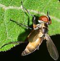 Tachinid Fly? - Xanthomelanodes
