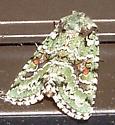 green sequined moth - Lacinipolia implicata