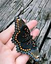 Black and orange butterfly- North Carolina - Limenitis arthemis