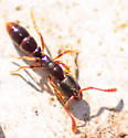 Formicidae ant - Ponera pennsylvanica