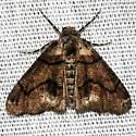Moth sp - Gabriola dyari
