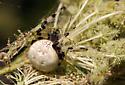 Orb Weaver - Araneus trifolium